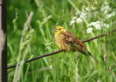 Yellowhammer on a Wire (eric robb niven) Tags: ericrobbniven scotland yellowhammer wildlife wildbird nature springwatch dundee cycling