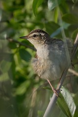Aquatic warbler (JS_71) Tags: nature wildlife nikon photography outdoor 500mm bird new spring see natur pose moment outside animal flickr colour poland sunshine beak feather nikkor d500 wildbirds planet global national wing eye watcher
