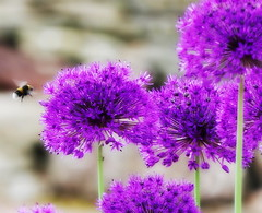 Alliums (eric robb niven) Tags: ericrobbniven scotland allium flowers springwatch dundee cycling iful eric