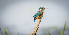 Kingfisher (sean4646) Tags: countrypark d500 nikon spring birds tamron150600 wildlife nature outdoors avian merseyside kingfisher perch