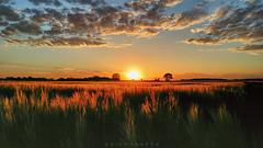 . feierabend (. ruinenstaat) Tags: tumraneedi ruinenstaat landscape landschaft sunset sundown dusk clouds wolken himmel sky sonne son wheat weizen triticale tritium secale eifel feld field