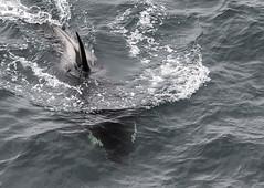 Killer Whales, Shetland, 5th June 2019 (john moncrieff) Tags: shetlandwildlifeorcakillerwhalesumburgh nikon d500 200400mm