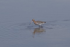 Black Tailed Godwit (Derek Morgan Photos) Tags: hampshire lymington keyhaven solentway blacktailedgodwit