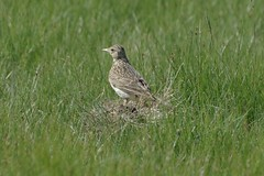 Skylark (Derek Morgan Photos) Tags: hampshire lymington keyhaven solentway skylark