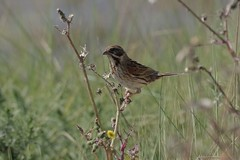 Reed Bunting (Derek Morgan Photos) Tags: hampshire lymington keyhaven solentway reedbunting