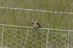 Goldfinch (Derek Morgan Photos) Tags: hampshire lymington keyhaven solentway goldfinch