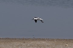 Avocet (Derek Morgan Photos) Tags: hampshire lymington keyhaven solentway avocet