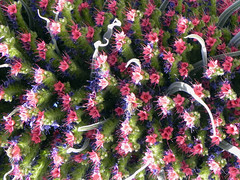 Close-Up (Nicote) Tags: echium wildpretii is species flowering plant family boraginaceae it an herbaceous biennial that grows up 3 m 10 ft height the endemic island tenerife found mainly las cañadas del teide common names tower jewels red bugloss or mount spanish name for this tajinaste rojo