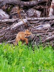 190604-70 Renardeau (clamato39) Tags: renard redfox fox animal wild sauvage outside forest forêt olympus provincedequébec québec canada