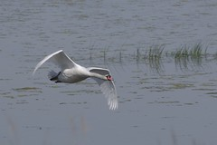 Mute Swan (Derek Morgan Photos) Tags: hampshire lymington keyhaven solentway muteswan swan