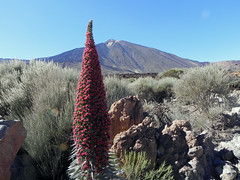 Tajinaste (Nicote) Tags: echium wildpretii is species flowering plant family boraginaceae it an herbaceous biennial that grows up 3 m 10 ft height the endemic island tenerife found mainly las cañadas del teide common names tower jewels red bugloss or mount spanish name for this tajinaste rojo
