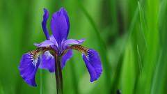 Barbara's Iris (jrmcmellen) Tags:
