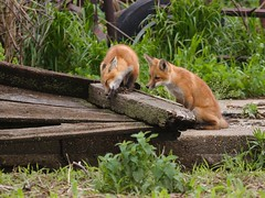 Please Sir, may I have some more (wdterp) Tags: fox redfox kits young mammel