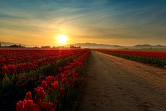 Red Red Rows (Beve Brown-Clark) Tags: skagit skagitvalley spring springtime sunrise nature bevebrownclark tulip tulipfields tulips landscape washington usa