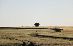 Trace ton chemin... (pascal445) Tags: country countryside campagne rural blés arbre tree trees nature outdoor natural sky ciel pastel jaune yellow chemin trace campaign naturepics agriculture agricole landscape paysage touraine france valdeloire