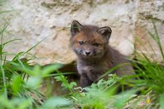 Trognon :-) (Franck Sebert) Tags: renard roux red fox goupil proximité forêt 5d mark iii 400mm 28 l is usm nature sauvage mammifère extérieur animal renardeaux ef wildlife wild arbre 2019 april avril
