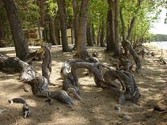 Корни сосен на берегу (ayampolsky) Tags: казахстан боровое озеро берег бурабай