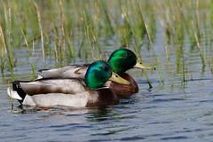 Mallard Drakes (imageClear) Tags: ducks drakes mallards male marsh color sunny flickr imageclear photostream