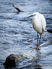 Aigrette Garzette (Quentin Douchet) Tags: aigrette aigrettegarzette eau faune fleuve nature rhône animal bird fauna oiseau water