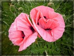 Poppies in the garden #poppy #poppies #flower #nature #garden #gardenflower (Andreadm66) Tags: flower nature garden poppy poppies gardenflower raindrops waterdrops petals petal flowerphotography