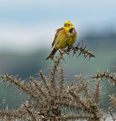 Yellowhammer 184b_315 (Baffledmostly) Tags: birds lochleven rspb reservesnotnt scotland gender male yellowhammer