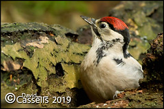 Woodpecker_F7O0096 (David E Cassells) Tags: wood pecker bird great spotted gtspotted woodpecker dendrocoposmajor canon1dx naturephotography wildlifephotography canonef300mmf28lisiiusm northern ireland dendrocopos major animal juvenile