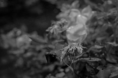 withered rose forms, live ones behind, yeard, Asheville, NC, Nikon D3300, mamiya sekor 80mm f-2.8, 6.6.19 (steve aimone) Tags: roses withered dead live leaves yard asheville northcarolina nikond3300 mamiyasekor80mmf28 mamiyaprime primelens blackandwhite monochrome monochromatic