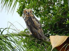 Immature Great Horned Owl (Jim Mullhaupt) Tags: greathornedowl bubovirginianus owl immature young queenpalm bird water pond lake swamp wildlife nature landscape background wallpaper outdoor bradenton florida manateecounty nikon coolpix p900 jimmullhaupt field photo flickr geographic picture pictures camera snapshot photography nikoncoolpixp900 nikonp900 coolpixp900