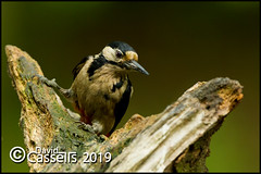 Great Spotted Woodpecker Female_F7O0198 (David E Cassells) Tags: wood pecker bird great spotted gtspotted woodpecker dendrocoposmajor canon1dx naturephotography wildlifephotography canonef300mmf28lisiiusm northern ireland dendrocopos major animal female