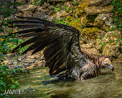 Cinereous vulture bading time (Aegypius monachus)-7518 (George Vittman) Tags: france bird raptor vulture bading water bath wildlifephotography jav61photography jav61