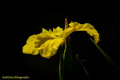 Yellow Iris (Ronald Dubbeldam) Tags: flowers yellow iris bloemen lis geel gelelis yellowiris nature