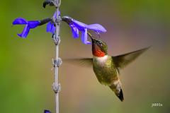 Ruby-throated Hummingbird (jt893x) Tags: 150600mm archilochuscolubris bif bird d500 hummingbird jt893x male nikon nikond500 rubythroatedhummingbird sigma sigma150600mmf563dgoshsms thesunshinegroup coth alittlebeauty coth5 ngc sunrays5