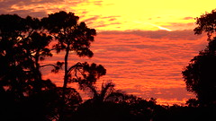 Bradenton Sunset (Jim Mullhaupt) Tags: sunset sundown dusk sun evening endofday sky clouds color red gold orange pink yellow blue tree palm outdoor silhouette weather tropical exotic wallpaper landscape nikon coolpix p900 jimmullhaupt manateecounty bradenton florida cloudsstormssunsetssunrises
