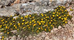 Friday's Flower Power... (Rainer Fritz) Tags: wanderung portocolom mallorca ffp