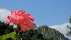 Bonson - 06 (bernard.bonifassi) Tags: bb088 06 alpesmaritimes juin 2019 printemps counteadenissa canonpowershotsx60 rose bonson