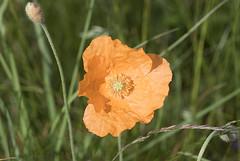 Atlas Poppy (Papaver atlanticum) (macronyx) Tags: nature plants plant blommor flower flowers växt växter vallmo atlasvallmo papaver papaveratlanticum poppy atlaspoppy