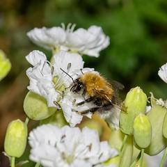 IMGP9732 - on1 (douglasjarvis995) Tags: bee insect bug animal nature pentax k3 irix 150mm