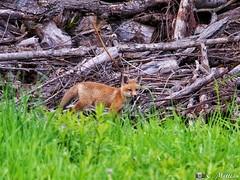 190604-68 Renardeau (clamato39) Tags: renard fox redfox sauvage wild nature outside forest forêt olympus provincedequébec québec canada