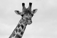 Giraffe, Massai (Susan Walker QP) Tags: giraffe mara massai kenya africa animal blackwhite wildlife