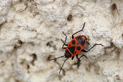 Gendarme (Guillaume Auberget) Tags: gendarme insecte nature