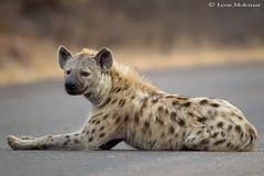Young Spotted Hyena (leendert3) Tags: leonmolenaar wildlife southafrica krugernationalpark wild wilderness nature naturereserve naturalhabitat mammal hyena wildanimal coth5 ngc