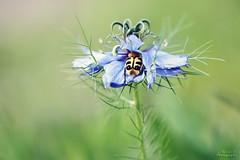 Trichius et Nigelle de Damas (Mariie76) Tags: animaux nature macro macrophotographie insecte coléoptère trichius jaune points noirs rangé caché dodo nuit drôle nigelle de damas fleur belle bleue verdure nigella damascena cheveux vénus