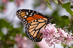 Monarch Butterfly (mahar15) Tags: lilacs spring blooms monarchbutterfly flowers butterfly nature butterflyonflower outdoors insect