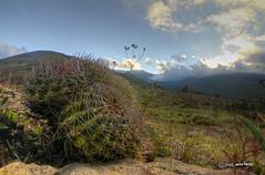 Eriosyce curvispina (pedrographer) Tags: nikon altohuemul cactaceae cactus eriosyce tokina1116 wideangle closeup