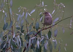Young Sparrow. June 2019 (Simon W. Photography) Tags: bird birds gardenbirds britishbirds birdlover ornithology feathers beak wildlife nature aves birdwatching rspb nest bbcspringwatch wildbird sonyrx10iv sonyrx10m4 sonydscrx10m4 sonyuk sony sparrow