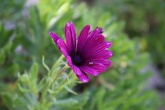 Osteospermum (Terry Hassan) Tags: cyprus kıbrıs κύπροσ osteospermum purple daisy flower plant