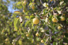 Hawthorn (Terry Hassan) Tags: cyprus kıbrıs κύπροσ fruit hawthorn yellow