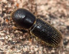2.8 mm bark beetle (ophis) Tags: coleoptera polyphaga cucujiformia curculionoidea curculionidae scolytinae scolytini xyleborina xyleborinus xyleborinusattenuatus barkbeetle