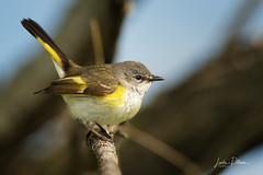 American redstart female (lindapp57) Tags: americanredstart bird