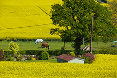 Shropshire Rapeseed Fields (Seventh Heaven Photography **) Tags: lyth hill bayston shropshire view scene landscape rape rapeseed flowers flora blooms yellow fields trees horses building grass nikond3200